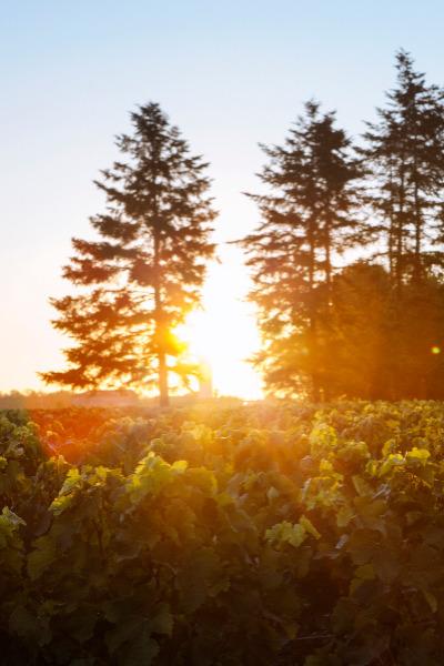 vignes soleil levant