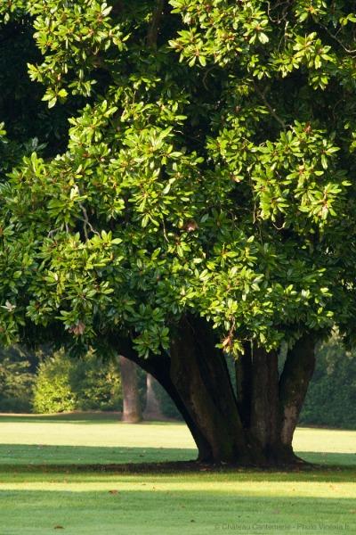 Magnolia (arbre)